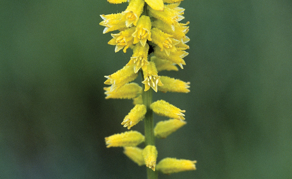 Aletris lutea, Yellow Colicroot