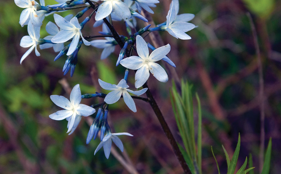 Amsonia ciliata, Fringed Blue Star
