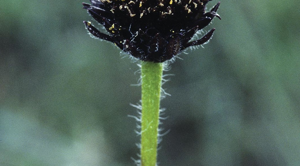 Rayless Sunflowers, Helianthus radula
