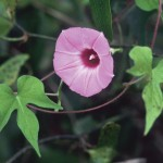 Morning Glory, Ipomoea cordatotriloba