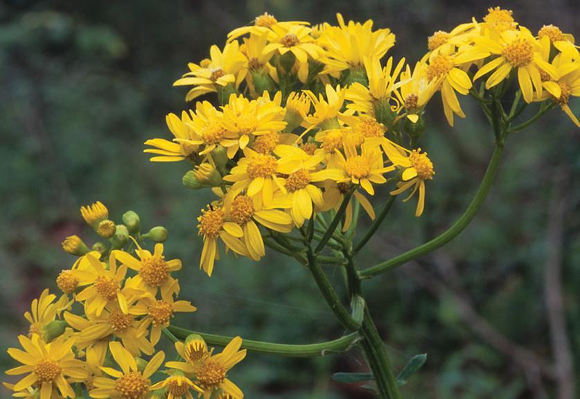 Butterweed, Packera glabella