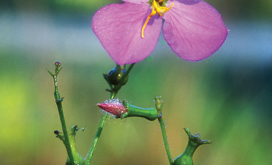 Meadow Beauties, Rhexia nashii