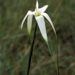 White-topped Sedge,  Rhynchospora latifolia
