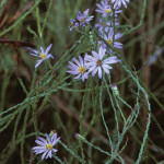 Blue Asters, Symphyotrichum adnatum