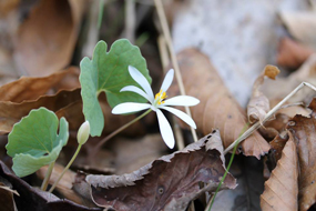 sanguinaria_canadensis_griffith-011915