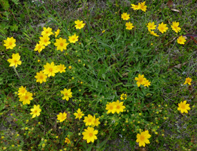 coreopsis_lanceolata_dietrich-04-28-15
